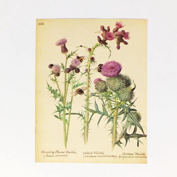 Thistle picture Vintage Botanical Print Flower Scottish