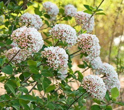 Viburnum carlesii - White Flower Farm