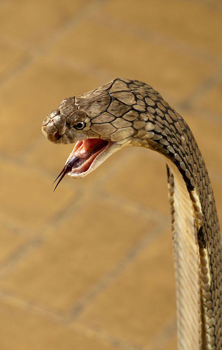 King Cobra, el más largo del mundo serpiente venenosa,