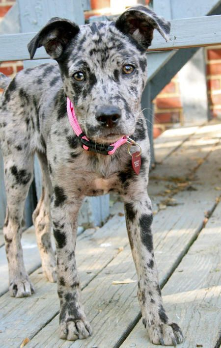 Reminds me of an Oreo shake, I could eat him to pieces he's so cute... Catahoula Leopard Mix!!