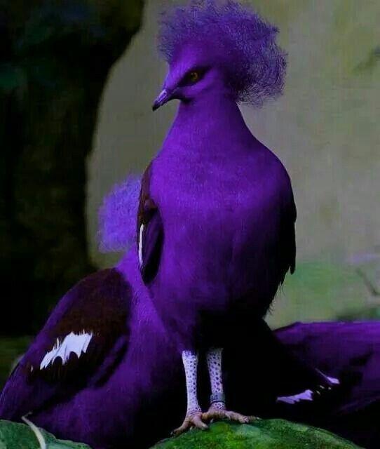 Pombo roxo,...