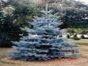 Picea Pungens hopsii İthal  Mavi Ladin 200 cm http://www.fidanistanbul.com/urun/2457_picea-pungens-hopsii-ithal--mavi-ladin-200-cm.html Fidan Satışı, Fide Satışı, internetten Fidan Siparişi, Bodur Aşılı Sertifikalı Meyve Fidanı Süs Bitkileri,Ağaç,Bitki,Çiçek,Çalı,Fide,tohum,toprak