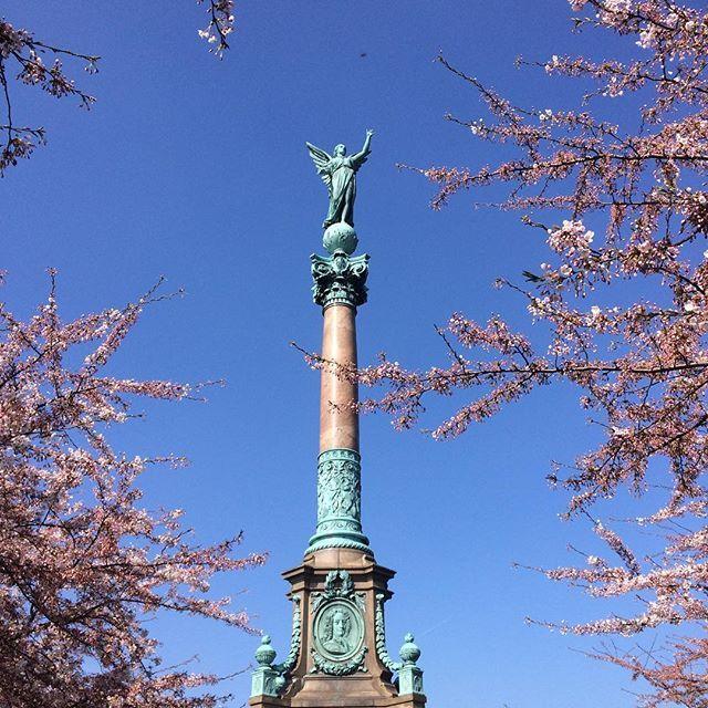 Cherry Trees at Langelinie Park, Copenhagen
