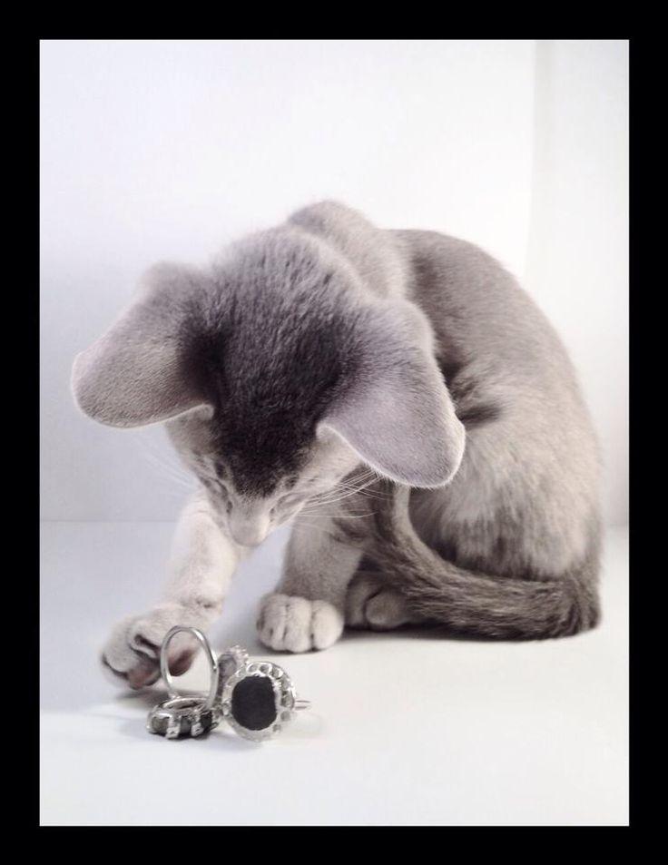 WURMA Jewellery and oriental kitten from Asynjas Cattery. Photo: Helle Rasmussen Theliander