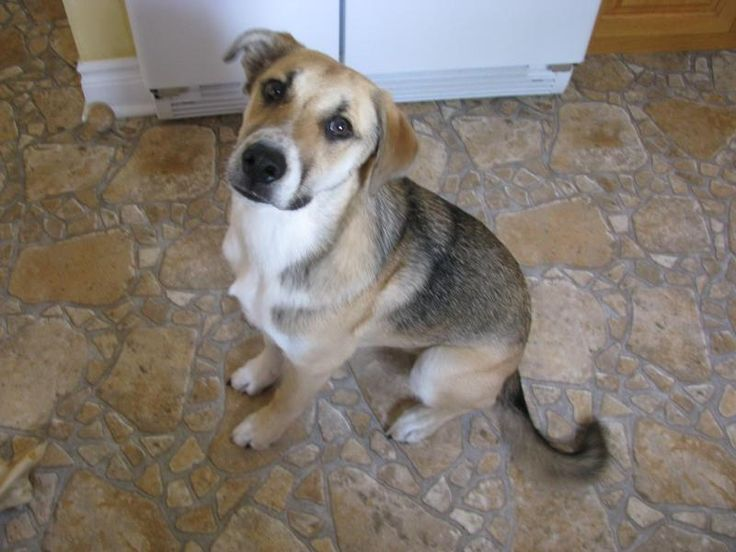 Meet Bruno, a Petfinder adoptable Hound Dog | Toronto, ON | Meet Bruno, an 8 month old hound/shepherd mix.  Bruno is neutered and UTD on his shots as well as...