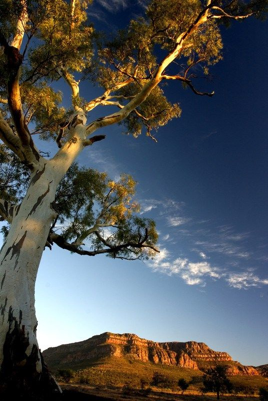 A rugged, 540 million-year-old landscape. Ruins of early homesteads and gnarled gum trees… Wilpena Pound, Flinders Ranges, is a fascinating place. Millions of years of erosion has created a …