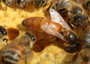 Bees for Sale. We offer #3 Italian package bees and Italian Nucs. We ship our package bees to 31 states. We offer the best logistics in delivering your bees