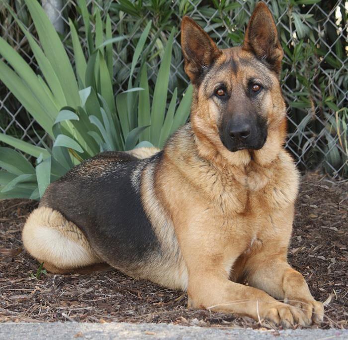 Looks Like My Kodiak Bear Only Full Grown Shepherd Dog