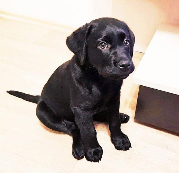 100 Male Black Lab Names Labrador Puppy Training Labrador Retriever Puppies Smart Dog