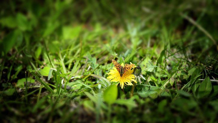 #Flowers #Summer #Dandelion #Butterfly