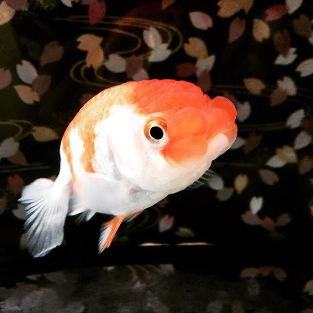 【ryusei225】さんのInstagramをピンしています。 《病気も治って元気になった!! #らんちゅう#蘭鋳#金魚#水槽#アクアリウム#ペット#病気#細菌#尾ぐされ病#塩浴#グリーンF#ゴールド#完治#元気#ベアタンク#リセット》