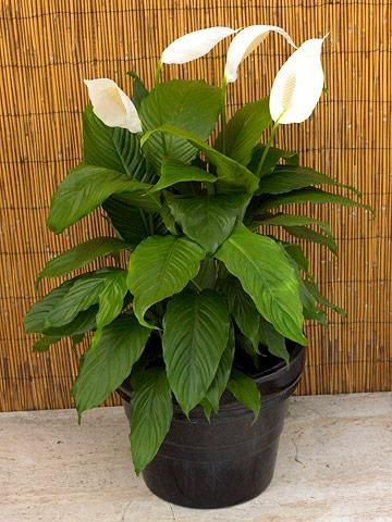 Peace Lily (Spathiphyllum wallisii) tolerates low humidity and low light. Its glossy, lance-shape leaves tip arching stems that surround the central flower spikes. The spoon-shape flowers normally appear in summer, but many cultivars bloom intermittently throughout the year. The dark leaves look attractive in a plain pot with a glossy finish.