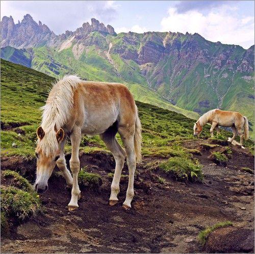 Emotion-Art - Haflinger Fohlen in Südtirol