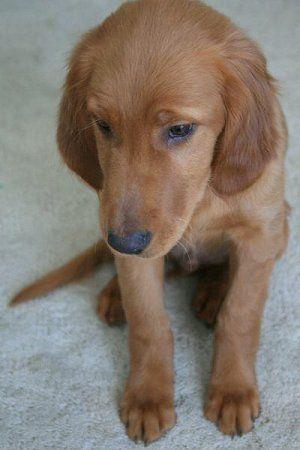 Golden Retriever / Irish Setter Puppy named Manhattan (Golden Irish Hybrid)