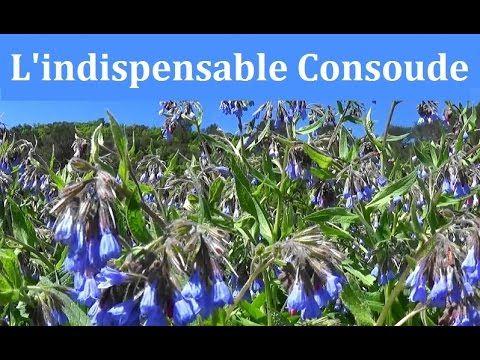 Quelques informations sur une plante très utile pour faire de l'agroécologie et de la permaculture facilement.  http://lagraineindocile.blogspace.fr/6691529/La-consoude/