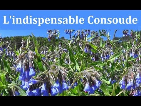 L'indispensable Consoude - YouTube