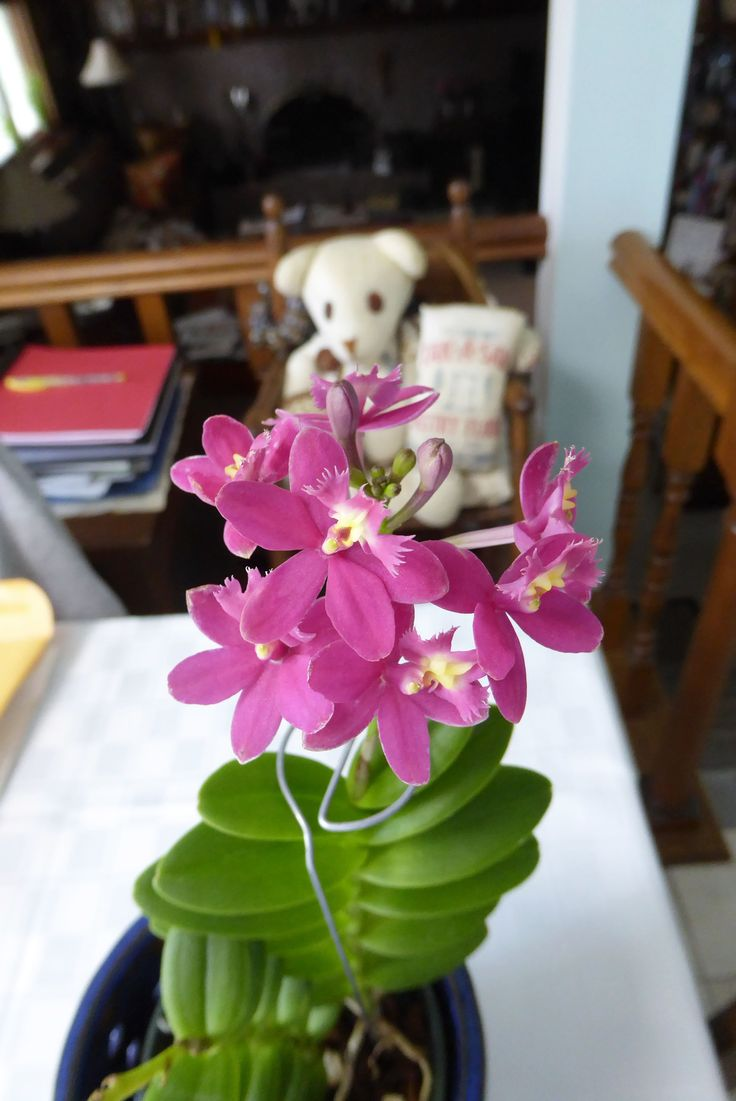 Epidendrum Lovely Valley Orchid: Epidendrum (eh-pee-DEN-drum) orchids are one of the earliest established genera of orchids with well over 1,000 different species. Some species are found growing at sea level, while others thrive in higher elevations up in the mountains.