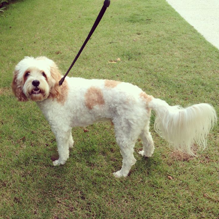 Cavoodle, Cavapoo, MyOodle, My Oodle, Oodle, Doodle, Dog, Poodle, Poodle Mix, Poodle Hybrid via myoodle.com