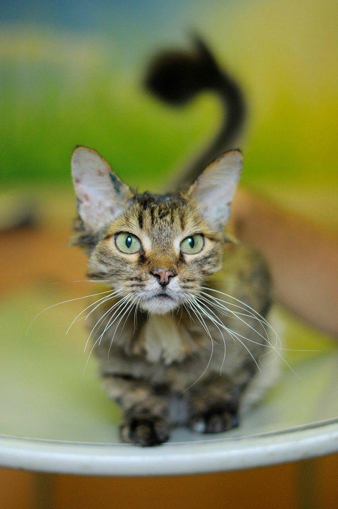 """Муся. Кошка, метис, около 12 лет. Тема на форуме Благотворительного Фонда """"Сохрани Жизнь"""" - http://save-life.me/forum/viewtopic.php?f=22&t=3953 . В приюте на передержке. Помогите найти Дом!"""