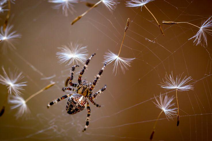 Las moscas terminaron. Para el desayuno solo dientes de león)))  Dmitry    La araña recoge la pelusa de dientes de león de la web
