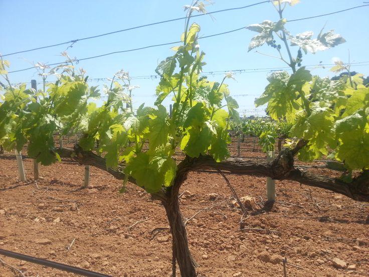 Bordoy Winery - Llucmajor Majorca