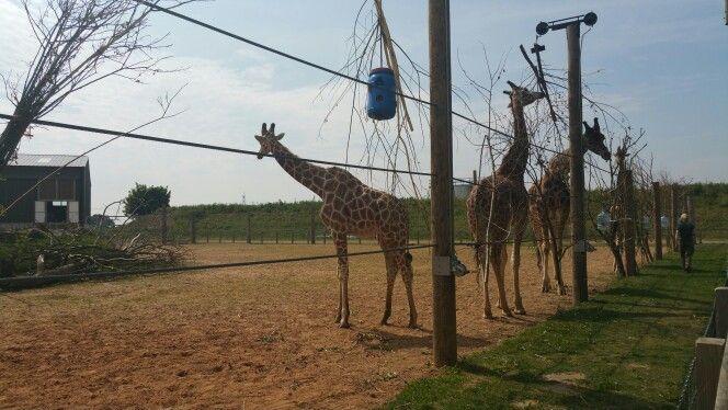 Giraffes  @Yorkshire Wildlife Park