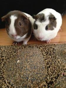 "inland empire for sale ""guinea pigs"" - craigslist | Adopt ..."