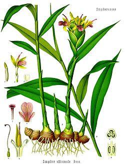 Ingefära (Zingiber officinale) Arten kan odlas som krukväxt. Köp en bit färsk ingefära. Välj en bit som visar lätt gröna ögon. Plantera den i jord med halva jordstammen sy... (http://www.pinterest.com/pin/321514860871403587/)