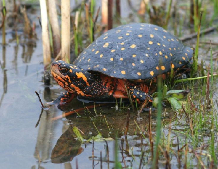 Spotted Turtle (Clemmys guttata) Eastern United States