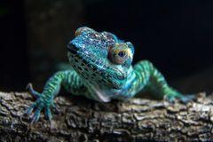 Looking Chameleon Stock Image