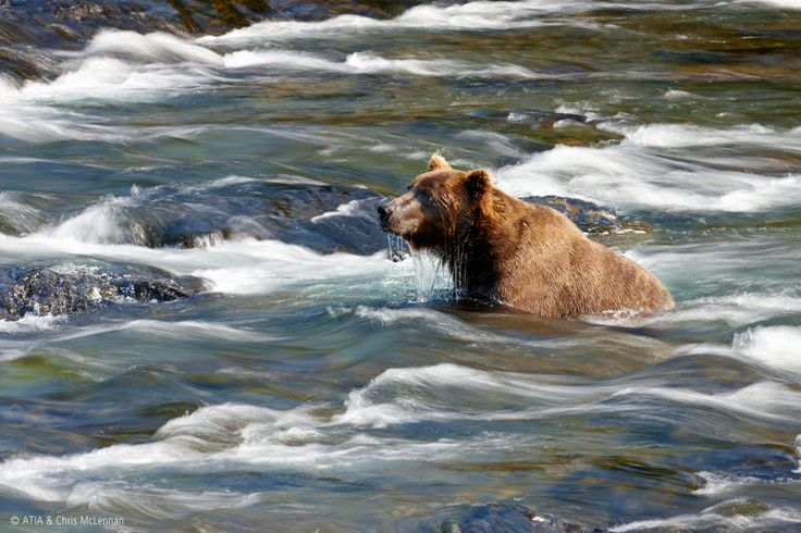 Katmai National Park in Alaska offers excellent opportunities for bear viewing, especially in July and September #Alaska #bears #grizzlies
