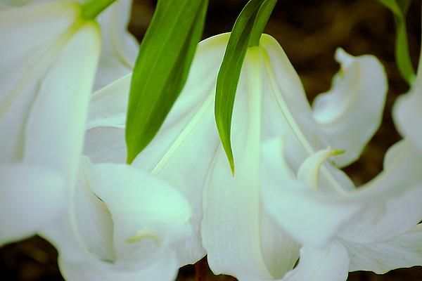Some heavy white lilies that fell over but gave me the chance to do an O'Keeffe inspired work.