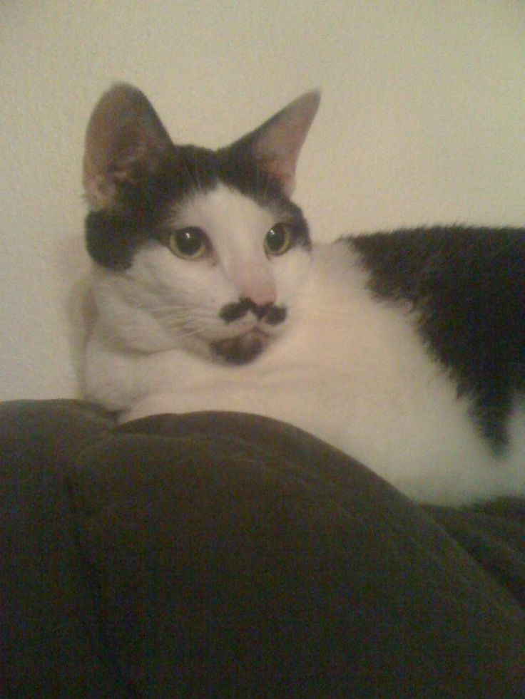 My cat has a mustache and goatee : aww