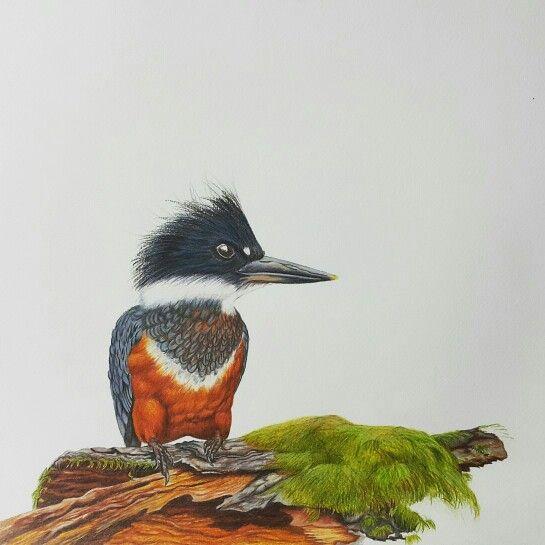 """Martín pescador chileno, serie """"aves de Chile"""". Artista coté Correa"""