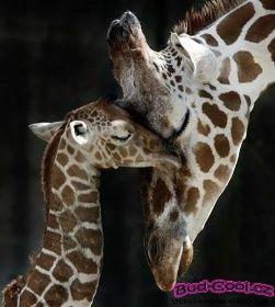 Dvě žirafy - Buď Cool
