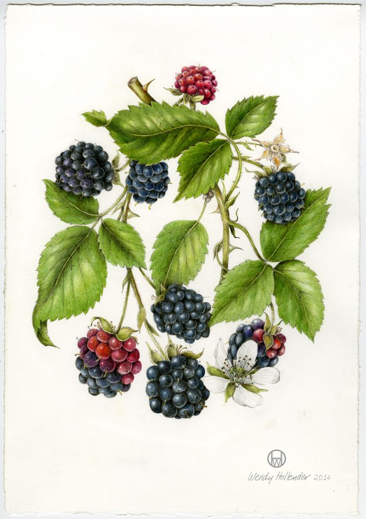 Orignal Illustration of Black Raspberry. Wendy Hollender. Botanical card, illustration, nature, flowers, berries