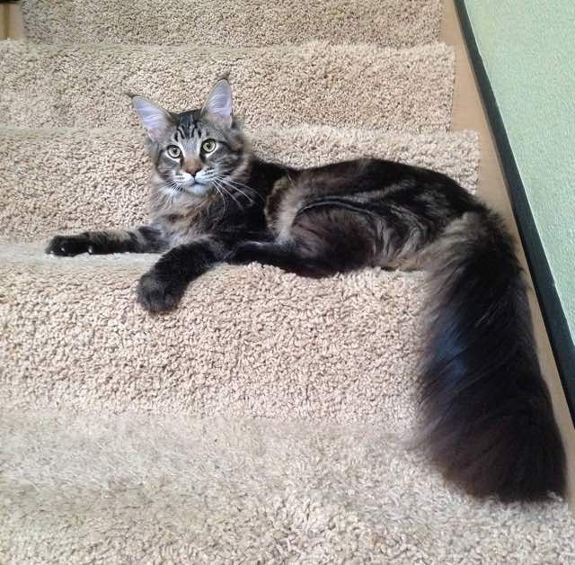 Spock the maine coon cat mistaken for bobcat #cat #MaineCoon