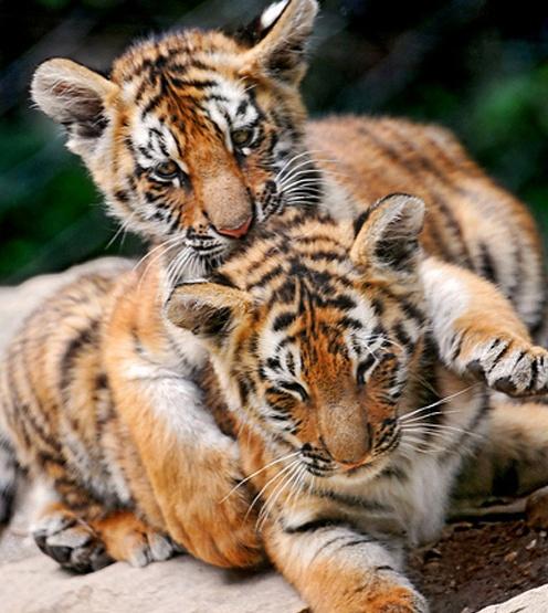 tigers!: Big Cat, Animal Photo, Siberian Tigers, Baby Animal,  Panthera Tigri, Tigers Cubs, Baby Tigers, Beautiful Creatures, Adorable Animal