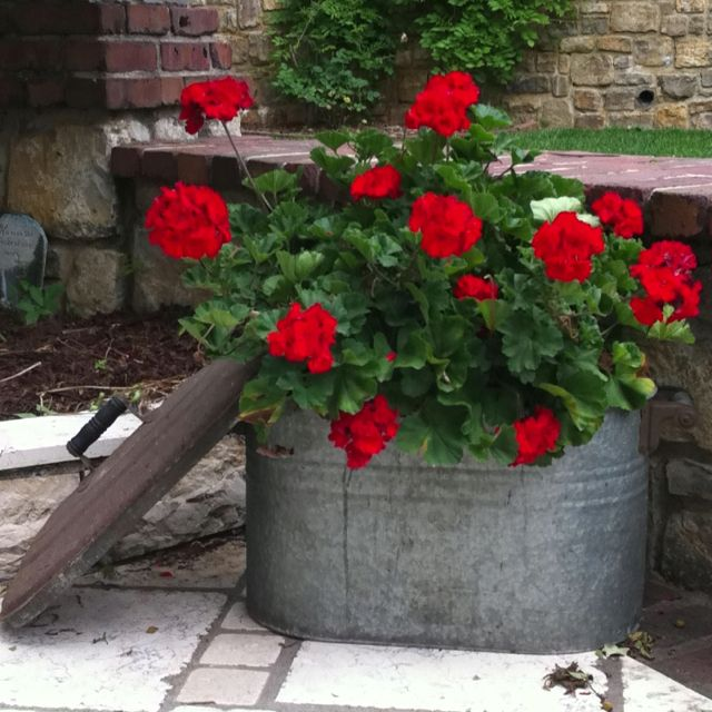 Galvanized wash tub. Pot of geraniums.
