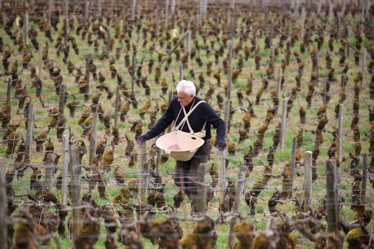 Burgundia - prace w winnicach, WINO Piotr Gonciarz