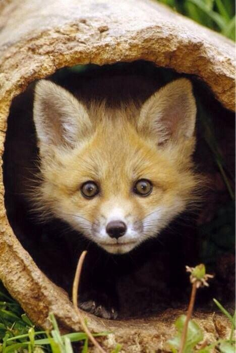227 Best Images About Fox Photographs On Pinterest Foxes