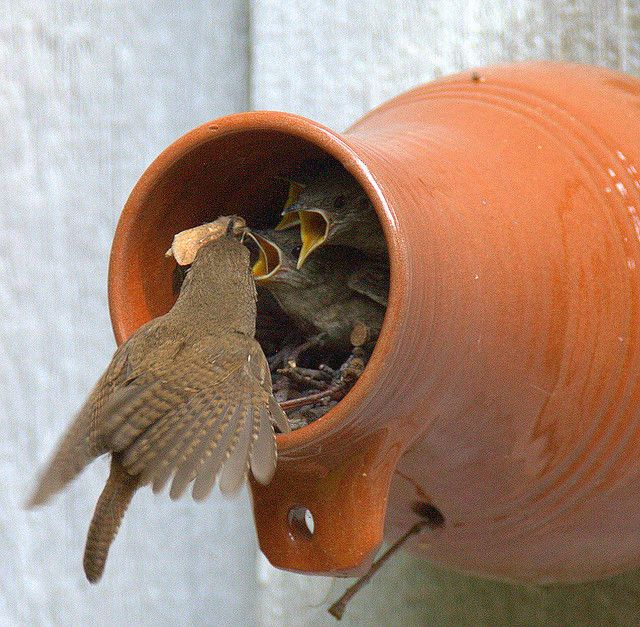 House Wren makes it's home in a  Williamsburg Bottle