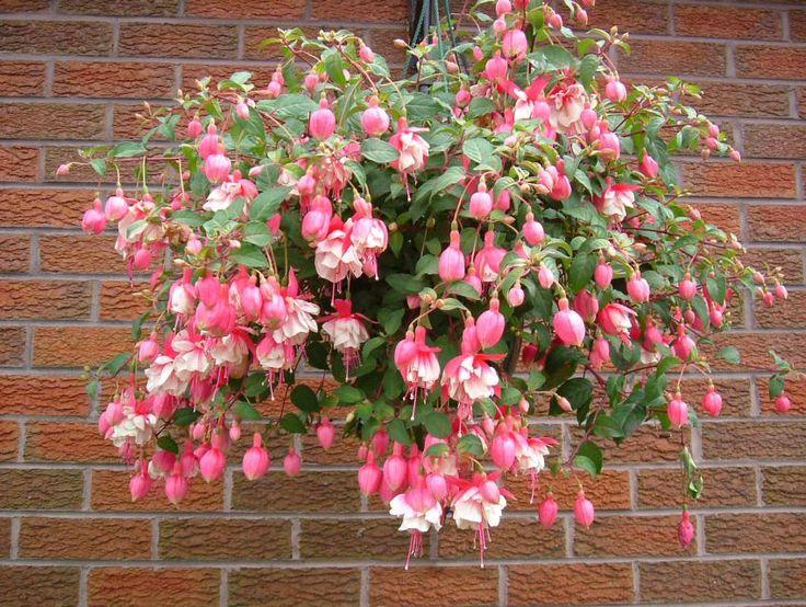 Plante pentru ghiveci suspendat – fuchsia
