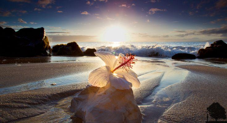 White Hibiscus sunset