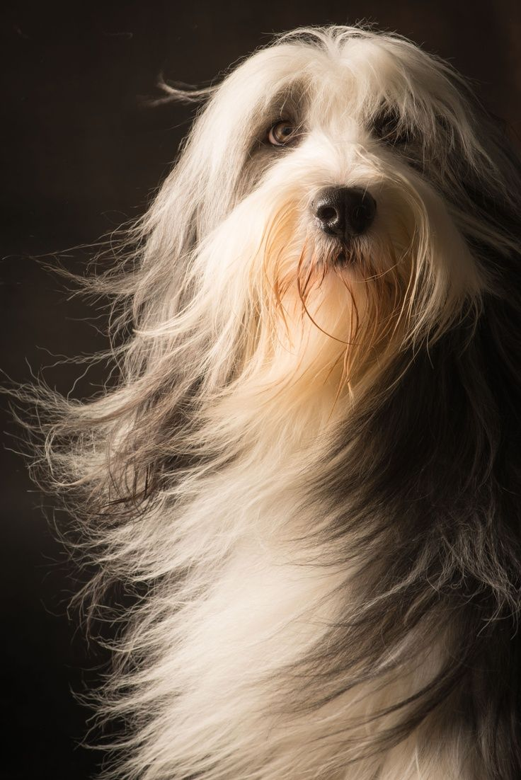:) Love these wonderful long-haired dogs! They steal my heart every time!