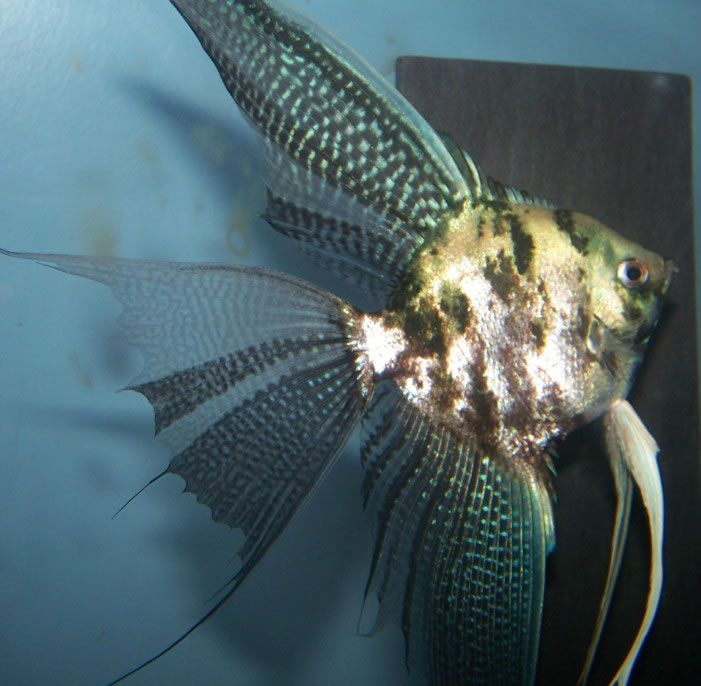 102 best angelfish images on Pinterest