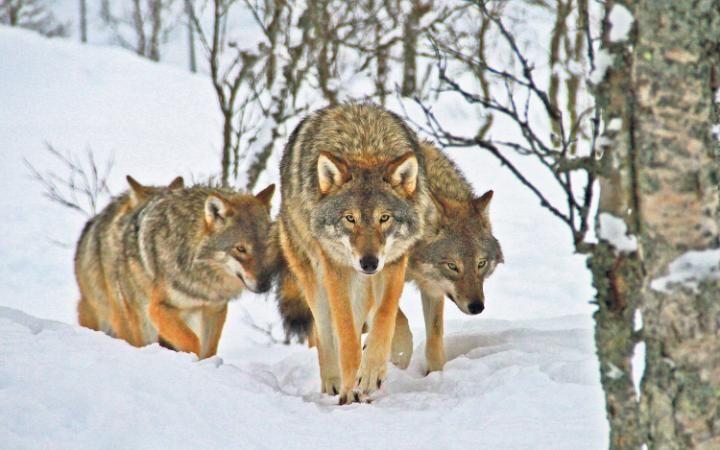 Wolf Lodge, Narvik, Norway
