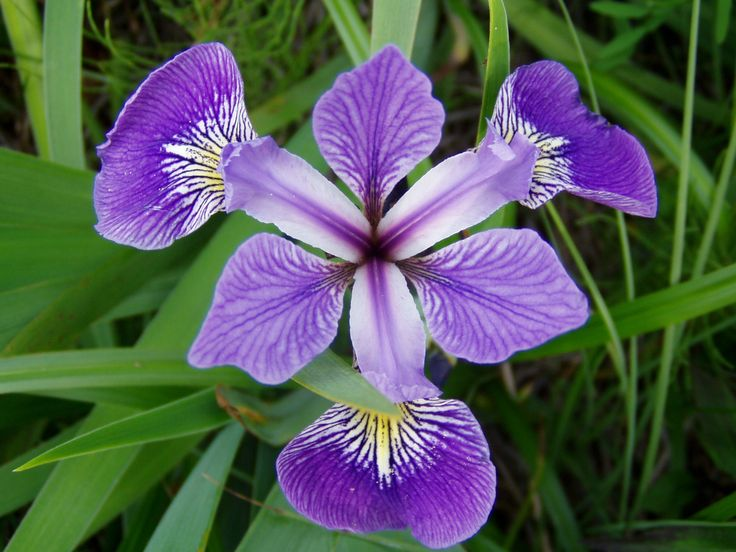 plants - Quebec's national flower just might be the prettiest IMO The Blue Flag Iris