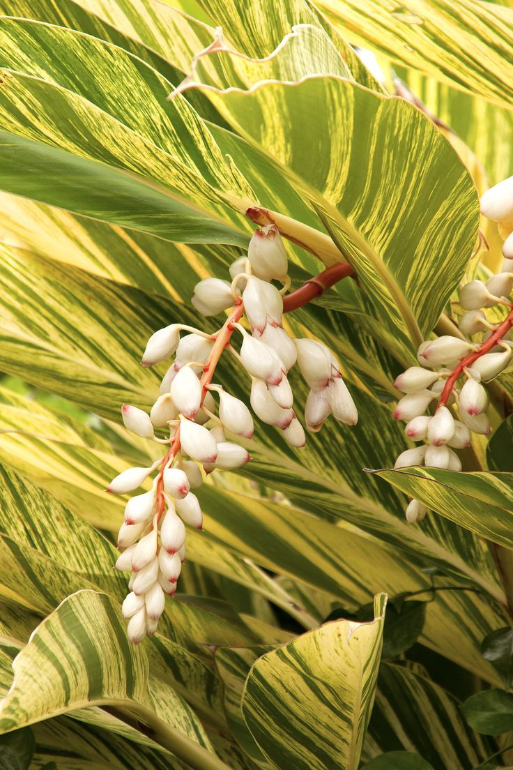 Monrovia's Variegated Shell Ginger details and information. Learn more  about Monrovia plants and best practices for best possible plant  performance.