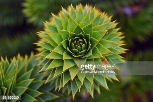 Stock Photo : Brazilian Araucaria